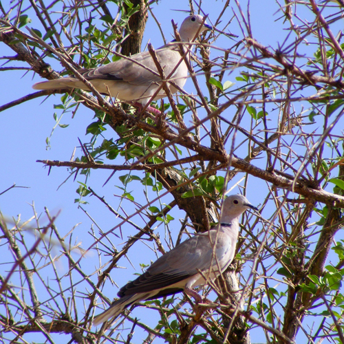 African Collared Doves
